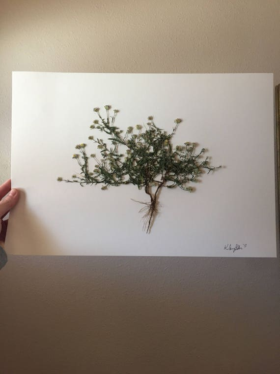 Texas Wildflower Herbarium Art - Texas Wildflower- Real Pressed Flower Artwork- Botany Art-  Vintage Botanical Poster - Framed Floral Art