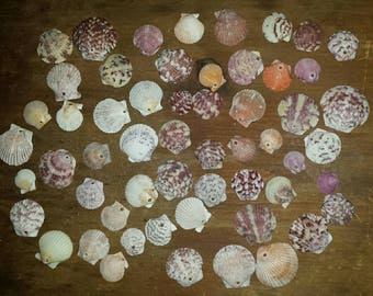 56 Drilled Scallop Shells