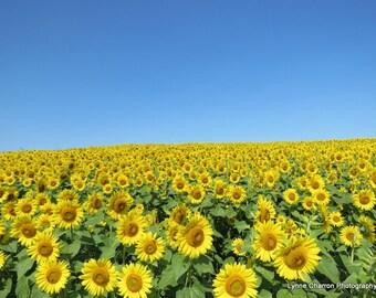 Sunflower Field V