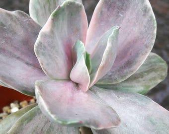 Echeveria Decora Succulent in 4 inch pot