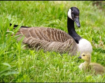 Mama Goose and Gosling