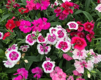 Dianthus Ideal Mix Live Plants - 6 Live Annual Plants From Plugs
