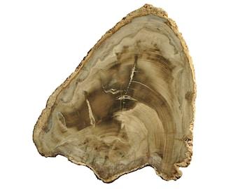 Paraguayan petrified wood - Large slab