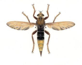Asilus crabroniformis - A4 size limited edition art print