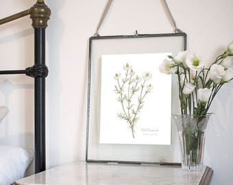 Wild Chamomile, Botanical Wildflower Watercolour, Art Print