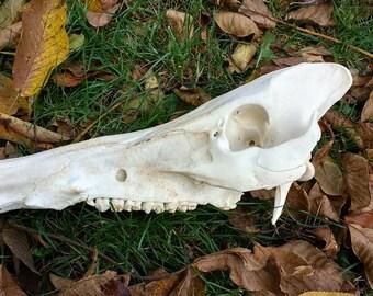 Massive Wild Boar skull, (tusker/male)