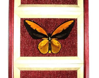 Three butterflies Ornithoptera great in exclusive frame!