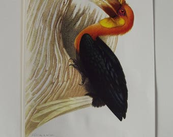 Antique engraving print birds of paradise 1960 calendar black Hornbill and Orange berry fruit tree