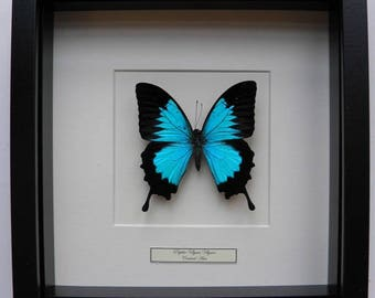 Mounted butterfly taxidermy, stuffed Butterfly Papilio ulysses in list