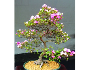 7 Japanese Flowering Cherry Blossom Bonsai Seeds, Fresh Exotic Rare Bonsai Seeds