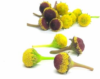 """Acmella oleracea( spilanthes) 40 """"fresh flowers"""": Szechuan buttons AkA Buzz buttons- 50/50 selection of Lemon drops and Bullseye."""