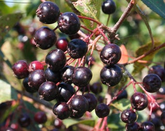 2 Plants....Chokeberry Tree, Live Plant, Edible Fruit, 'Viking' black - Aronia melanocarpa