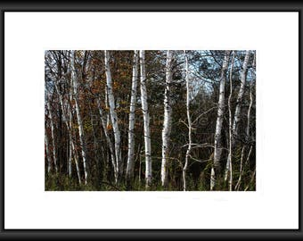 Birch Trees, Photography, Free Shipping, Print, Framed Print, Canvas Wrap, Canvas Framed, Autumn, Fall Nature Wall Art, Home Decor. Forest