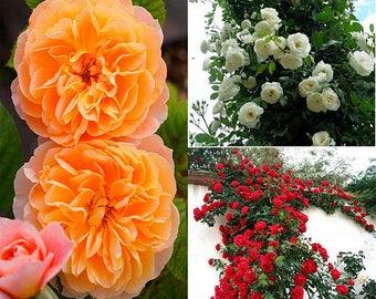 100 Pcs Climbing Rose Seeds Rosa Multiflora Perennial Fragrant Flower Seeds
