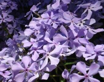 6 Creeping Phlox Plants - Bright Lavender - Perennial