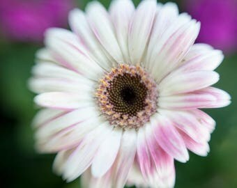 Photo of Gerbera Daisy, Flower Print, Nature Photography