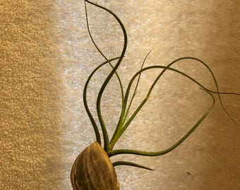 Hanging Shell with Airplant