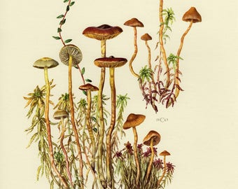 Vintage lithograph of galerina species from 1963