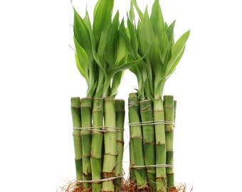 4 Inch Lucky Bamboo Live Indoor Plants Bundle of 20 or 100 Straight Stalks