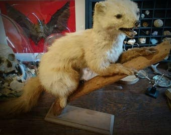 Antique French taxidermy WEASEL 1960