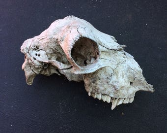 Real Sheep Skull Bone (craft grade/damaged) [skeleton/teeth]