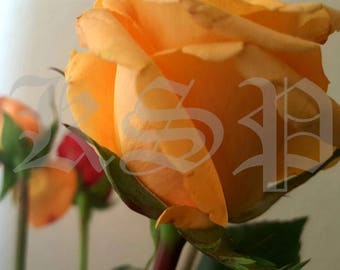Peachfuzz <> flower photography, spring décor, wall décor, flowers, vibrant spring colors, rose photography, orange and red roses, prints