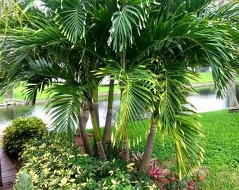 christmas tree palm seeds adonidia merrillii live seeds - Christmas Tree Palm