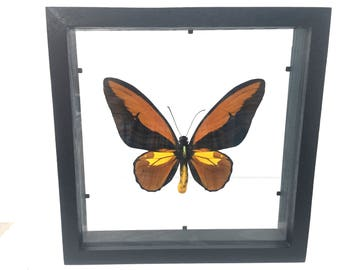Beautiful Ornithoptera Croesus Lydius Birdwing Butterfly/Insect/Taxidermy/Lepidoptera.
