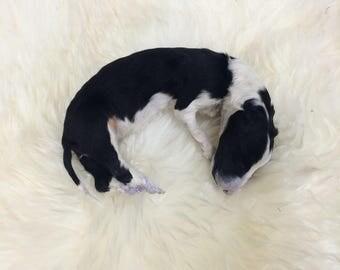 Taxidermy border collie puppy dog