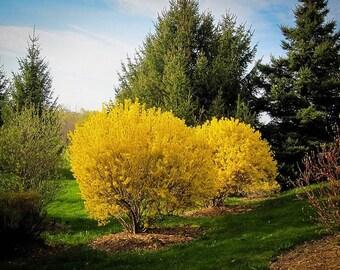 1 Lynwood Gold Forsythia shrub 2 feet tall