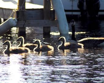 sunlit goslings
