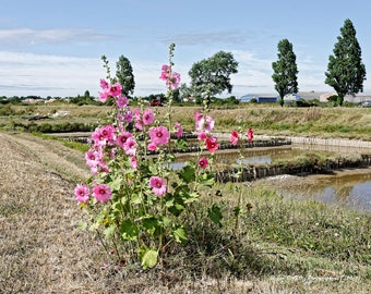 Hollyhocks in Charente Maritime