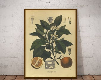 Five Vintage Botany Prints - Citrus, Walnut, Dandelion, Orange - 1887 Medicinal Plants Encyclopedia - Printable Art - Instant Download
