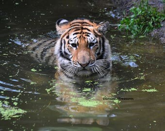 "8"" x 10"" Siberian Tiger Bathing photo print Photogragh zoo lion Pittsburgh"
