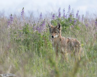 Coyote in Lupine Flowers: print, canvas