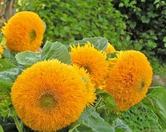 "Giant Sunflower seeds, ""DWARF SUNGOLD"",flower seeds"