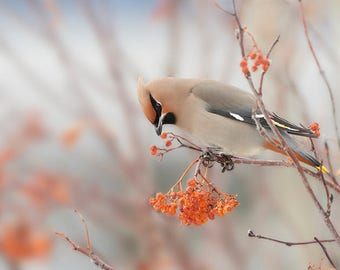 PLACEMAT semi-rigid ORIGINAL AESTHETIC WASHABLE and durable - animal - Waxwing boreal.