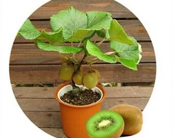 100pcs Kiwi fruit seeds, Thailand Mini Kiwi Fruit Seeds flower, Bonsai plants,delicious mini kiwi Vegetable seeds,
