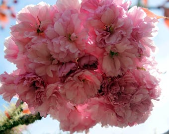 Fine art photography pink blossom with sunshine