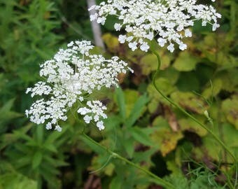 Queen Anne's Lace - nature photography