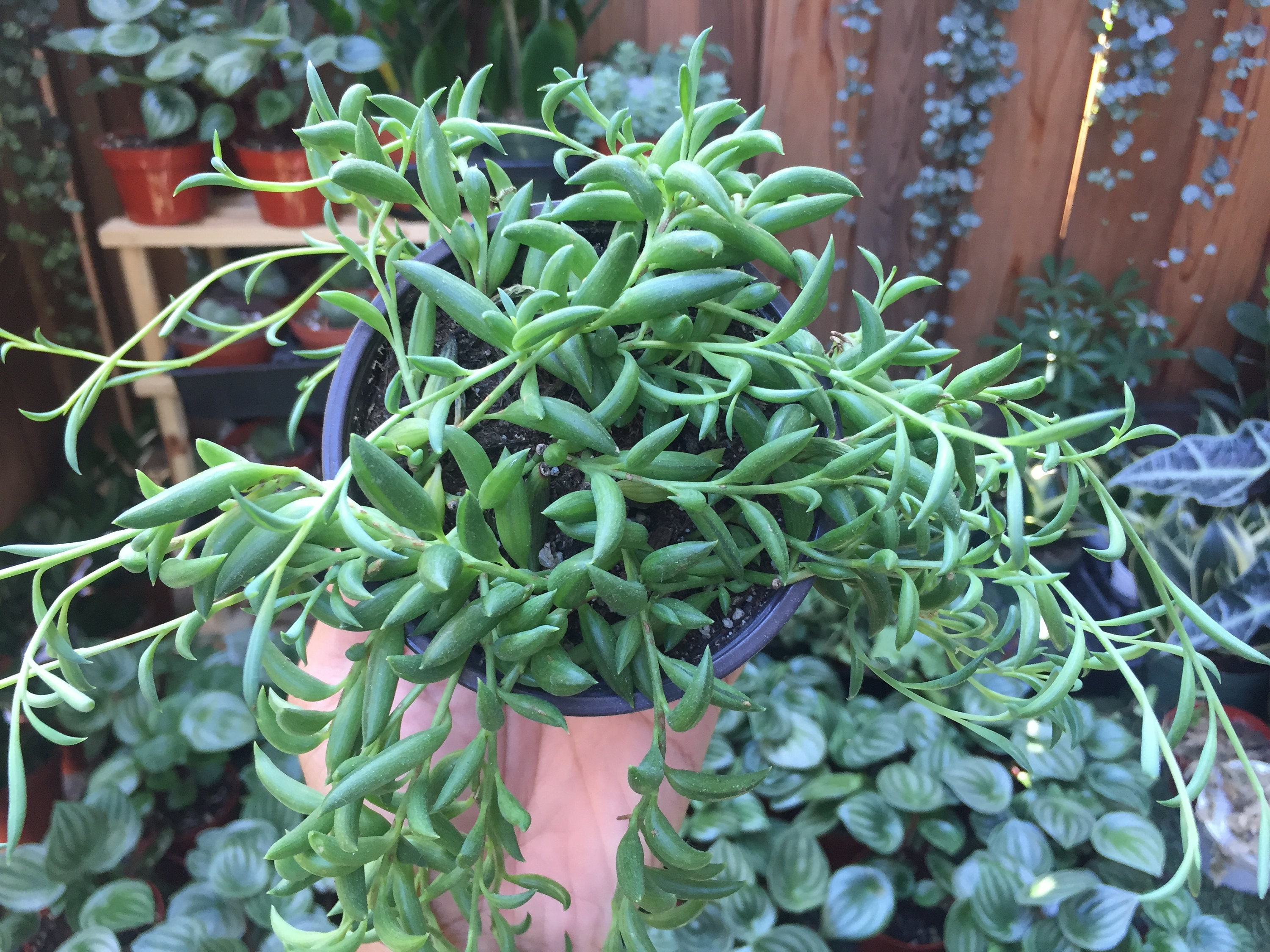 String of banana plant care - Description Senecio Radicans Plant String Of Bananas