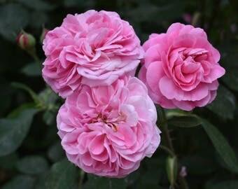 Spring Rose Burst