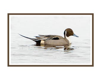 Pintail Duck Notecard package of 6