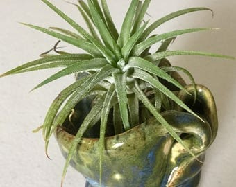 Tillandsia Ionatha Mexican Select Purple Flowering Air Plant In a FreeForm Blue and Green Ceramic Planter, 4.5 inches  Tall.