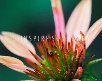 STAY TRUE 8x12 Pink and Ivory Cone Flower Fine Art Print