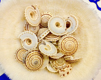 "Seashells - 10 Sundial Shells 1""-1.25"" - beach decor/bulk shells/craft shells"