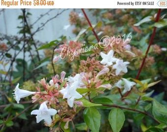 SALE Southern Honeysuckle. Photography Giclée Print.  Spring blossoms. Sweet Butterfly Nectar. White blooms . Topiary. Floral Print