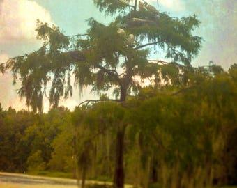 Great Egrets Nesting in Swamp Tree - Charleston, SC  8x10 Inch Photographic Print