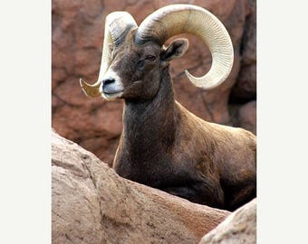 On Sale Big Horn Sheep, Tucson, AZ