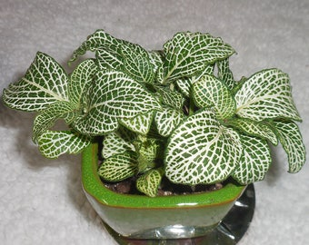 """White and Green  Fittonia Verschaffetii ~ Nerve Plant   Mosaic plant - 3"""" pot- Indoor House Plant"""